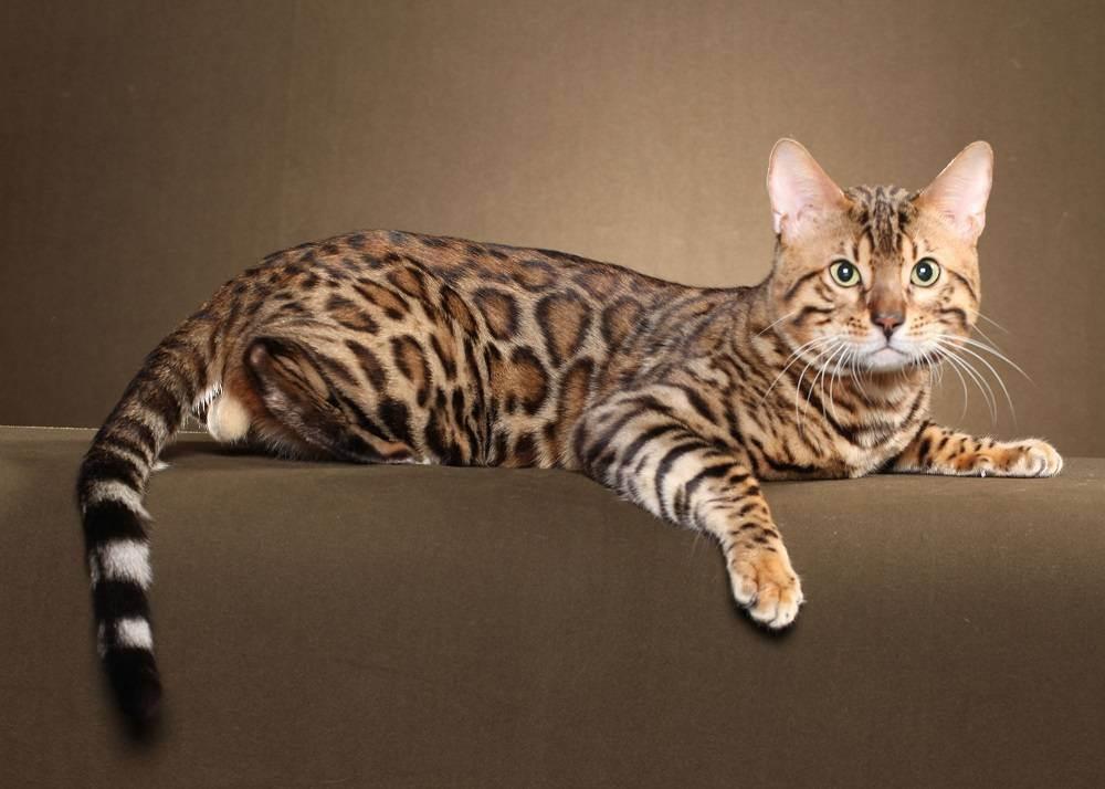 Бенгальская кошка: описание породы и характера, уход и содержание