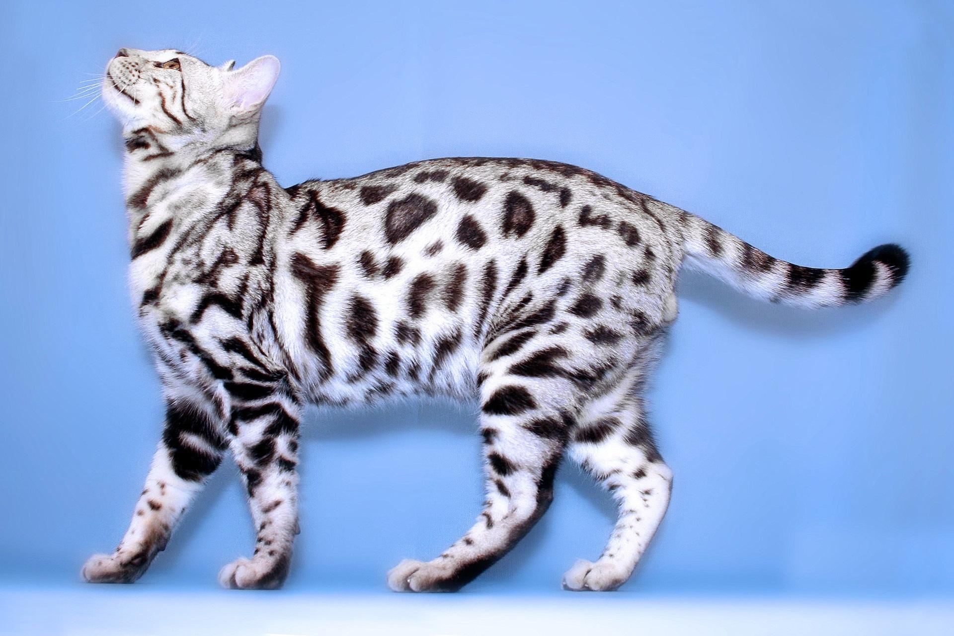 Популярные породы тигровых кошек