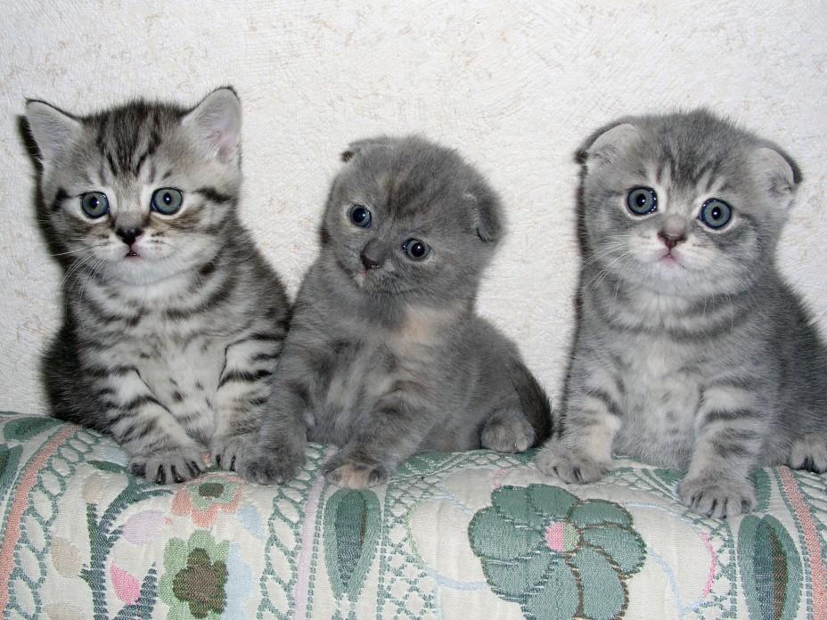 Новорожденные шотландцы: как отличить вислоухого котенка от обычного