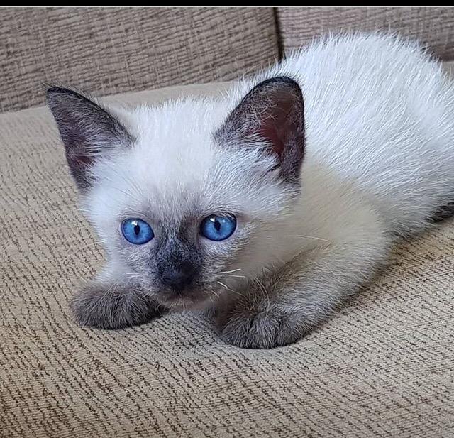 Сиамская кошка фото, описание породы, характер, уход, стандарты, имена, цена