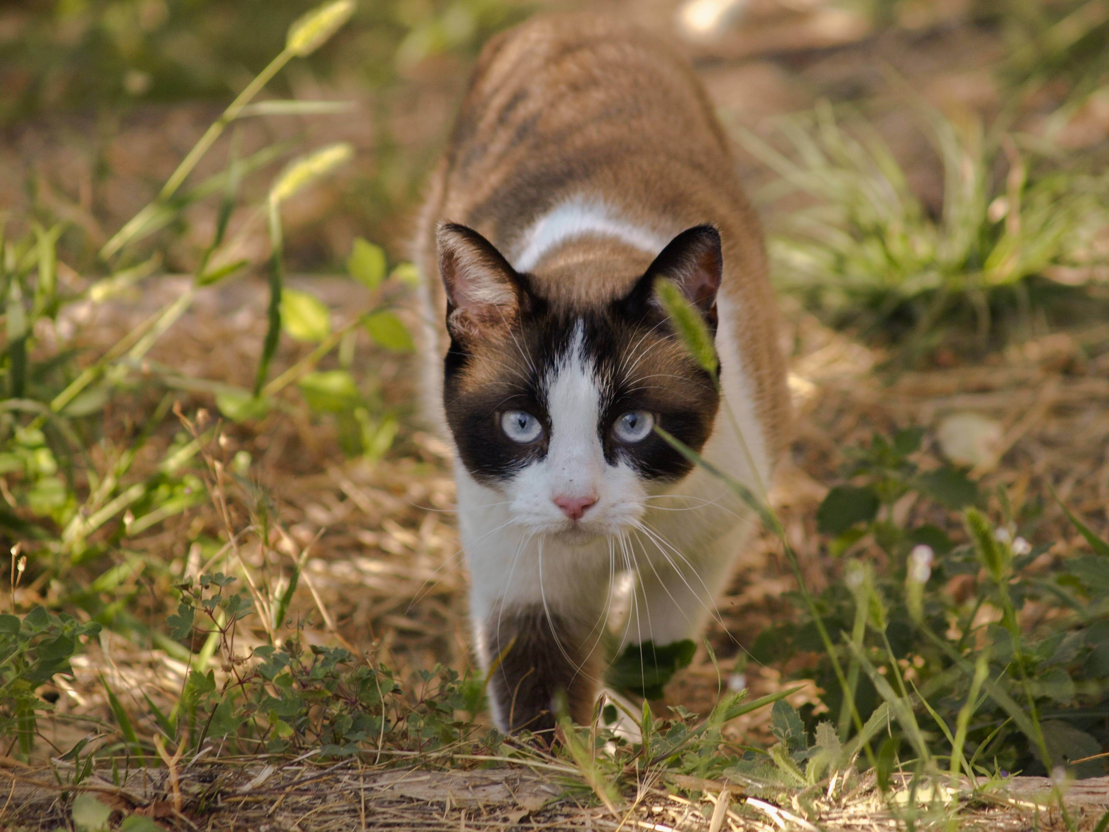 Содержание кошки в городе – породы, принадлежности, выгул