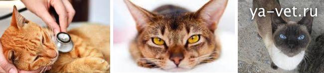 Лейкоз (вирусная лейкемия) у кошек: причины, основные симптомы заболевания, лечение и прогноз выживаемости, рекомендации ветеринаров