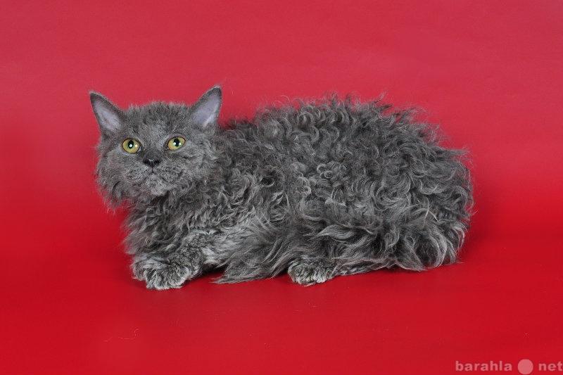 Кудрявые кошки: как называются породы животных с кучерявой, волнистой шерстью, короткой и длинной?