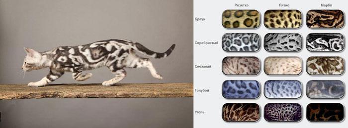 Окрасы шотландских кошек и их описание