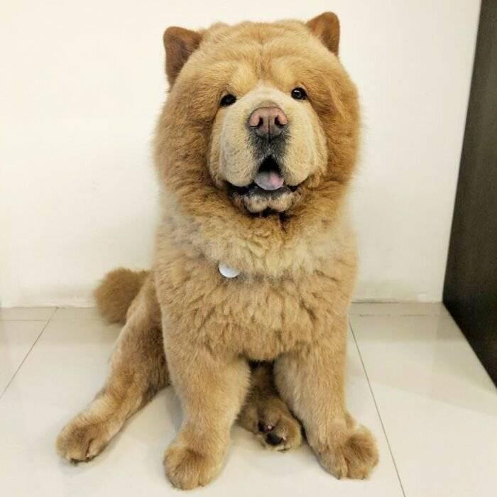 Породы собак, похожие на медвежат: описание и фото