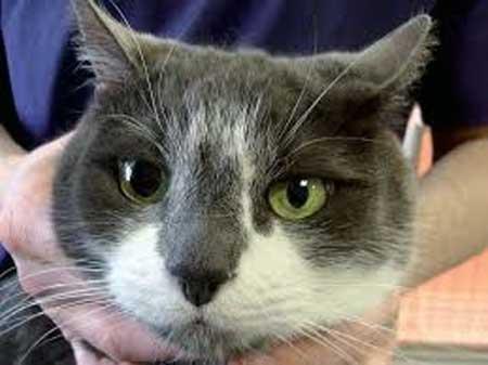 Почему у кошки разные размеры зрачков, причины анизокории, что таит в себе аномалия