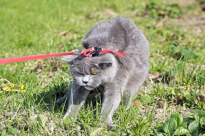 Как приучить кошку к шлейке и поводку