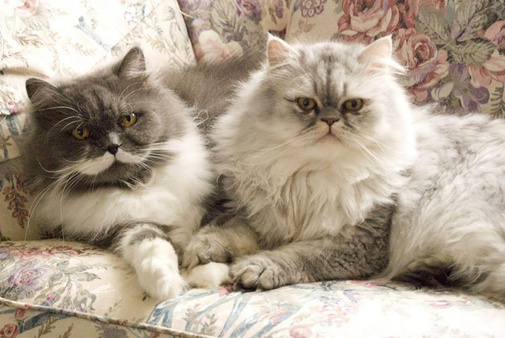 Персидская кошка — самаяроскошная и требовательная порода