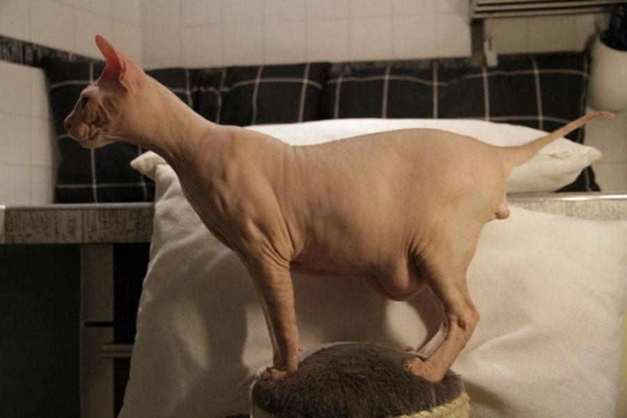 Почему у кошки большой и твёрдый живот: причины и лечение