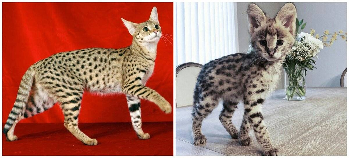 Саванна — порода кошек, фото