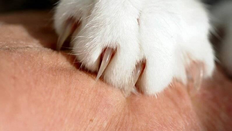 Что делать, если обнаружился вросший ноготь у кошки?