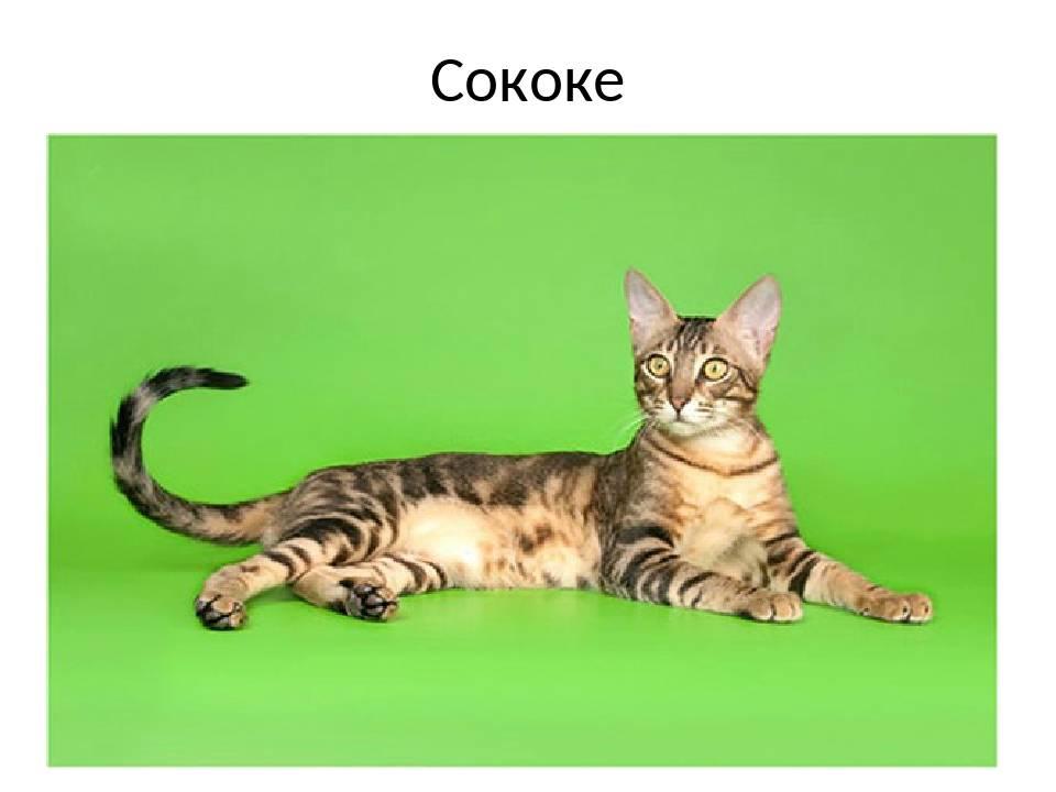 Сококе – фото кошки, описание особенностей и характеристика породы сококе