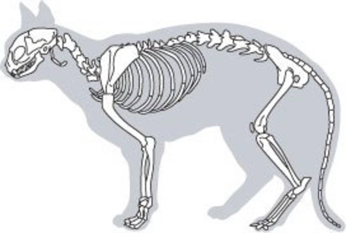 Строение скелета кошки