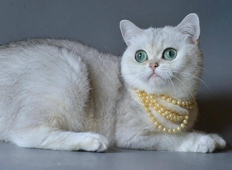 Котята шиншилла, британская, серебристая, золотая, шотландская вислоухая шиншилла | кошки - кто они?