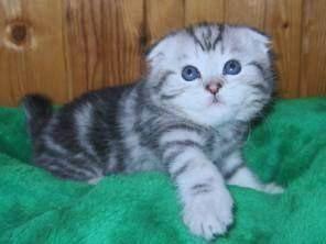 Шотландская кошка прямоухая и вислоухая