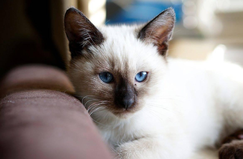 Сиамская кошка - фото, характер, описание породы, особенности ухода, содержание, цена