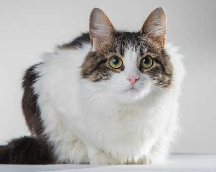 Кимрик – фото кошки, описание особенностей и характеристика породы кимрик
