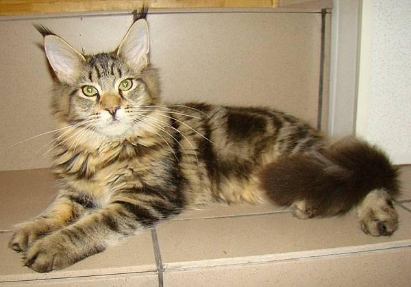 Мейн кун вес взрослого кота, развитие по месяцам