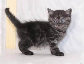 Лиловый британец: как ухаживать и содержать кота, характер и поведение, особенности