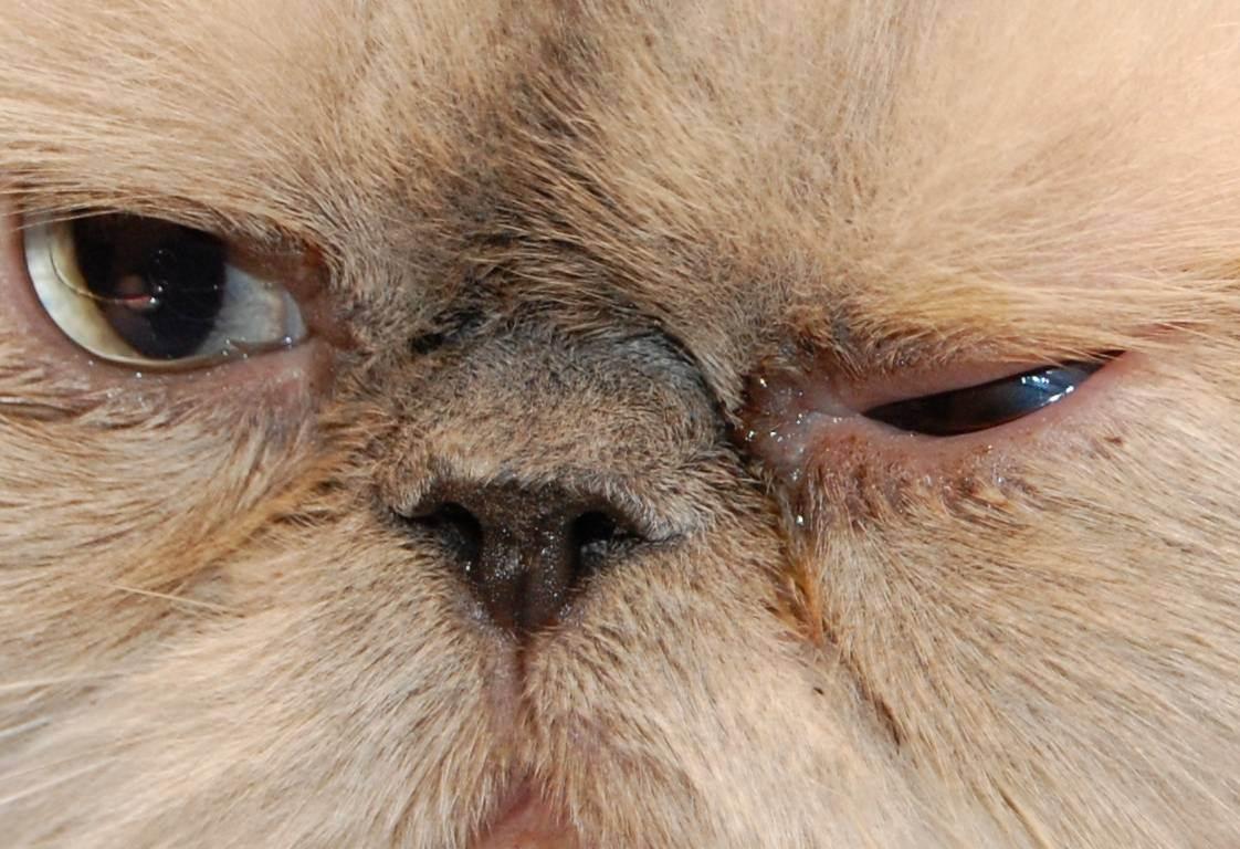 У шотландской кошки текут глаза: патология или норма