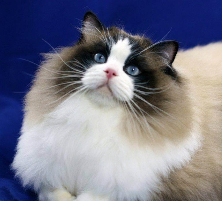 Особенности и фото, породы кошки рэгдолл
