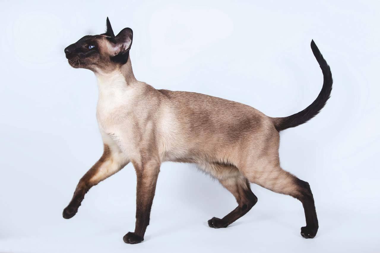 Породы кошек, которые похожи на сиамскую