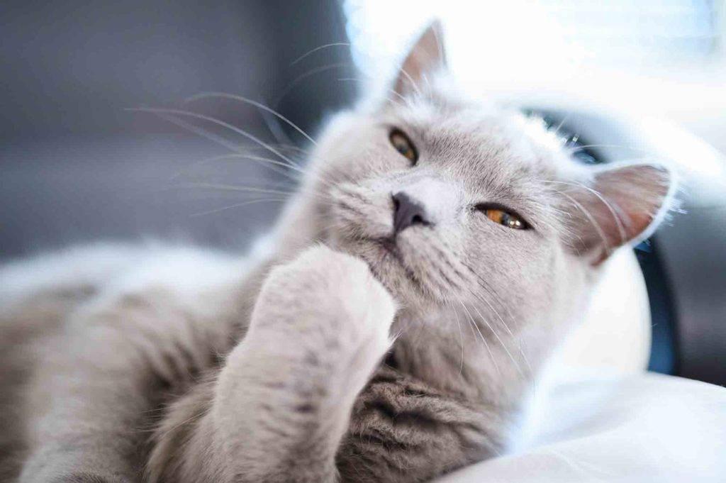 Уход за кошкой: гигиена, правильное питание и забота о здоровье. уход за кошкой: гигиена, правильное питание и забота о здоровье сложно ли ухаживать за кошкой