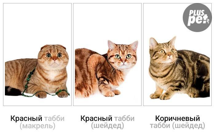 Чем отличаются британские кошки от шотландских?