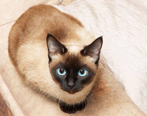 Сколько лет живут сиамские коты