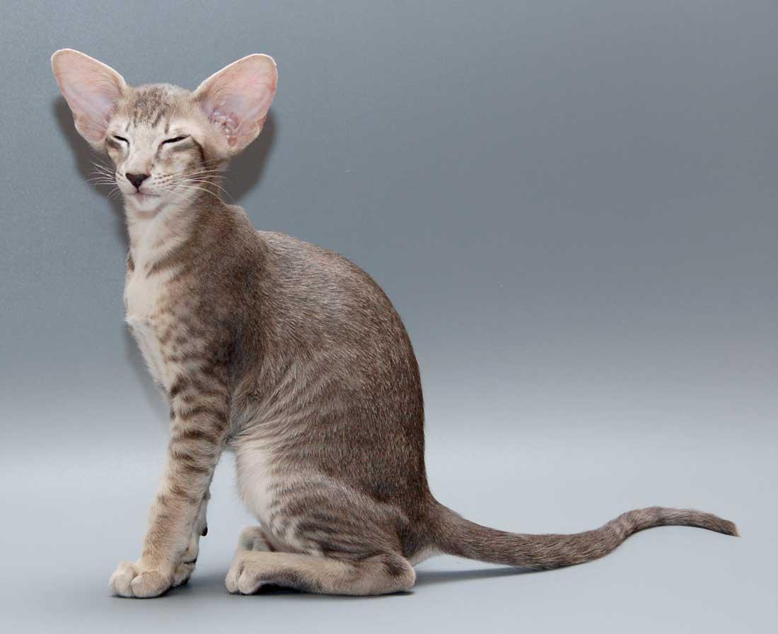 Самые длинноухие кошки