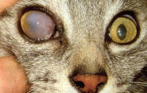 Сахарный диабет у кошек и котов