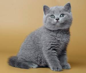 Правильное питание кошек и котов, рацион британского кота, рацион питания шотландских кошек, рацион беременной кошки   кошки - кто они?