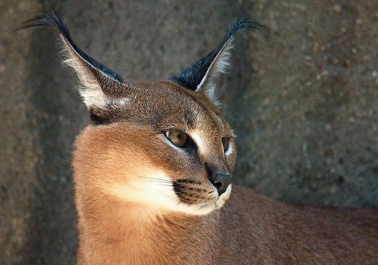 Кошки каракал: цена, фото, характер, описание породы, уход, дрессировка