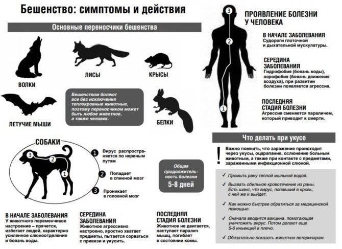 """Бешенство у кошек: симптомы и опасность для человека — """"лапы и хвост"""""""