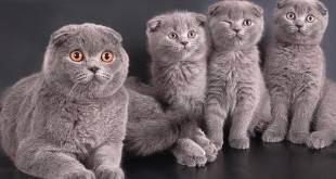 Шотландская вислоухая кошка: характер и описание породы