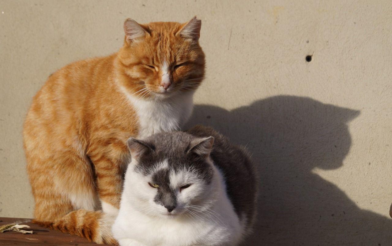 Как подружить двух взрослых кошек? - страна мам