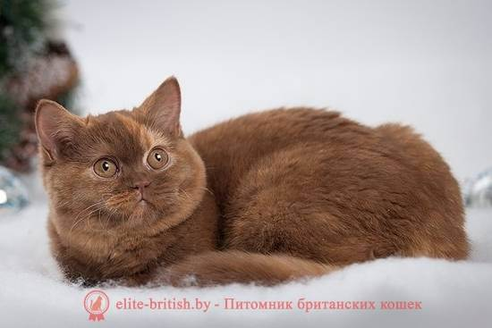 Рыжий британский кот