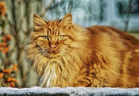 Симптомы и лечение вирусного иммунодефицита кошек: опасен ли вирус «кошачьего спида», передается ли человеку?