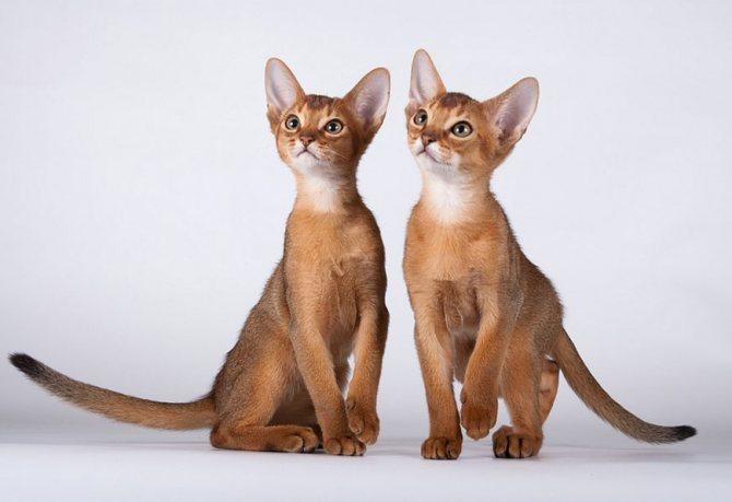 Абиссинская кошка — фото внешнего вида и обзор всех особенностей содержания, правила кормления и советы по уходу здесь!