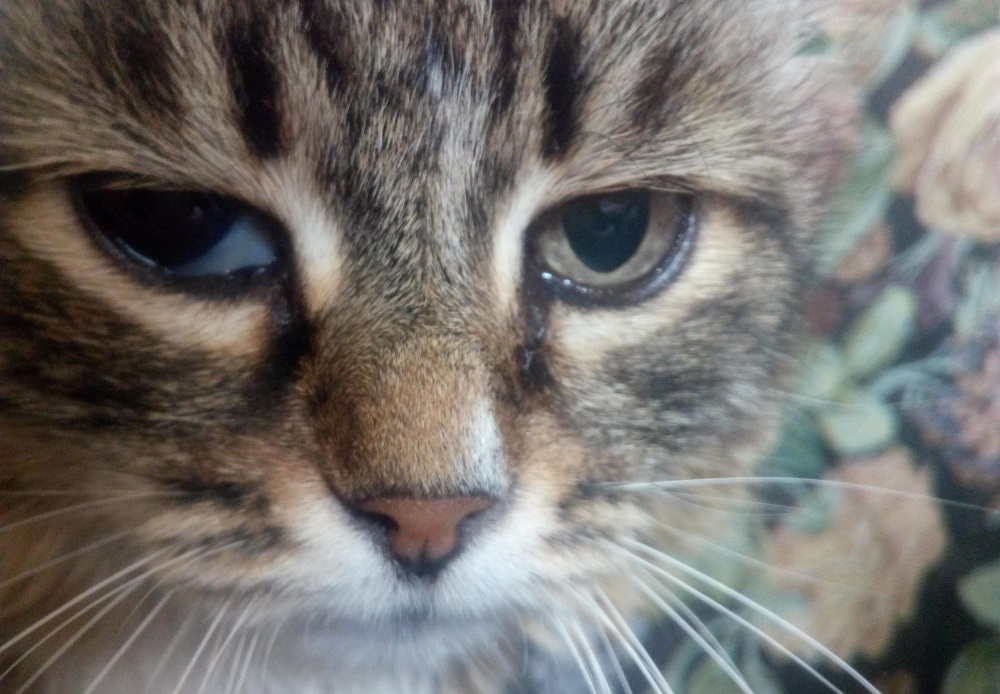 Болезни глаз у кошек и котов