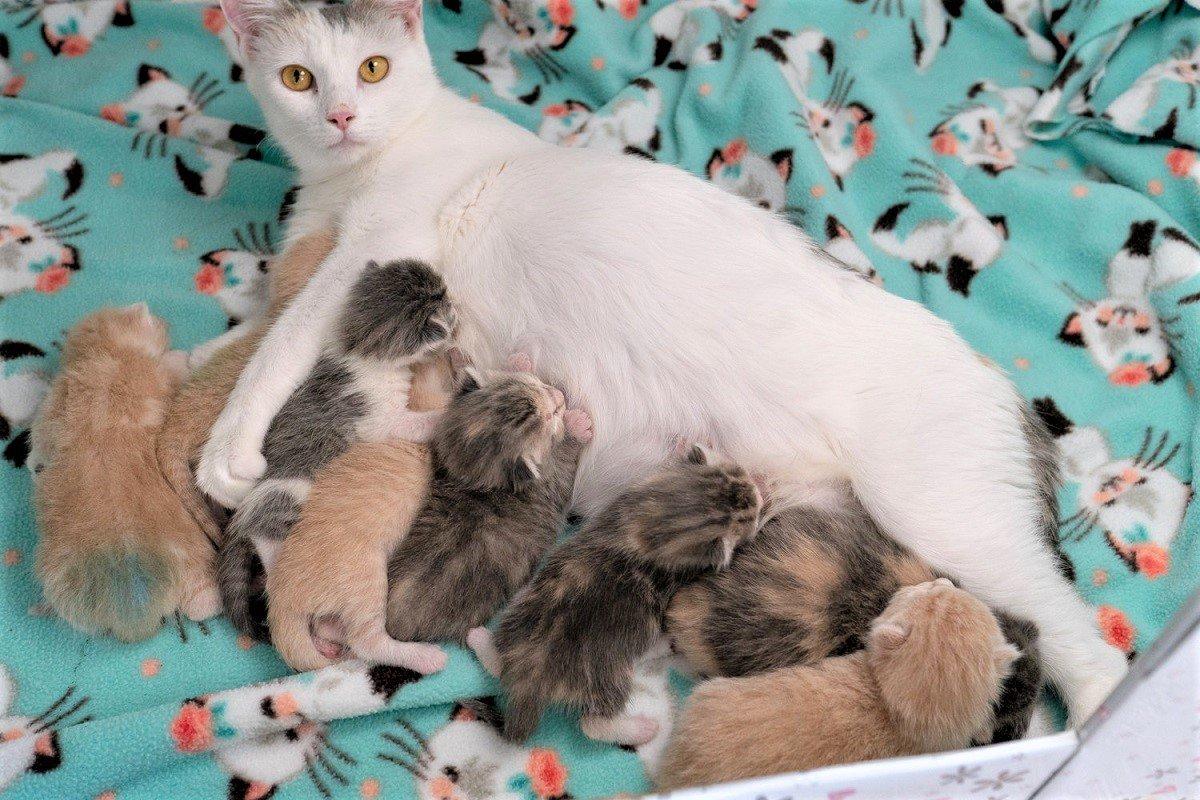 Беременность у британской кошки: особенности и сроки вынашивания котят