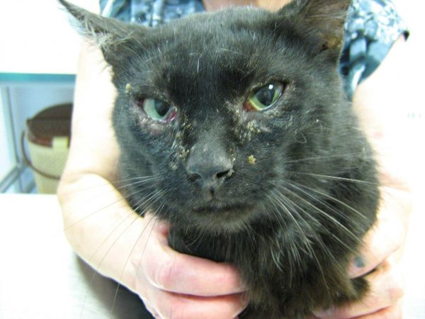 Вирусный лейкоз у кошек лечение - муркин дом