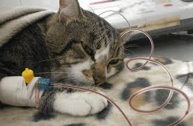 Внутреннее кровотечение после стерилизации кошки симптомы. причины маточных кровотечений. кота рвет розовой пеной