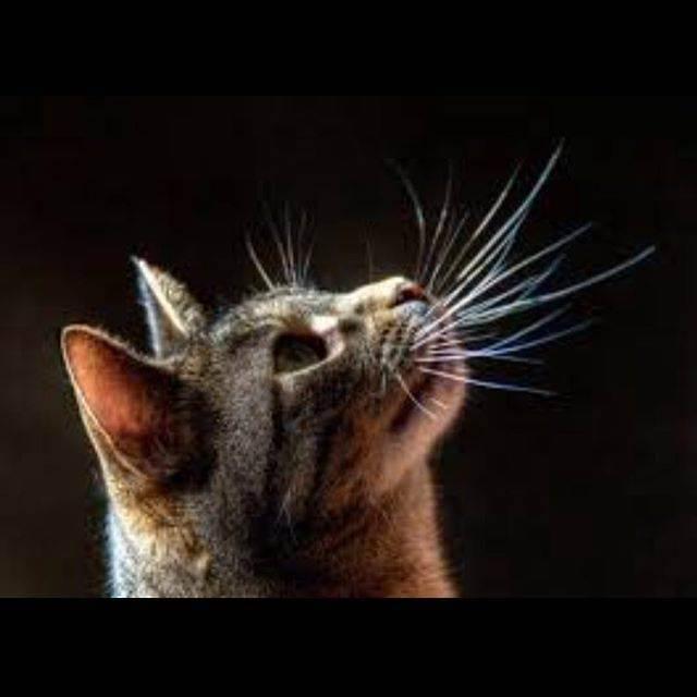 Хвост шотландской кошки — барометр здоровья. сальный хвост кота: фото, симптомы и лечение желтых налетов