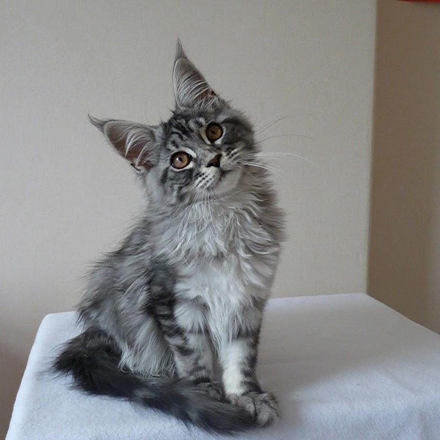 Как назвать мейн куна, прикольные клички для котов мальчиков, красивые имена для кошек девочек.