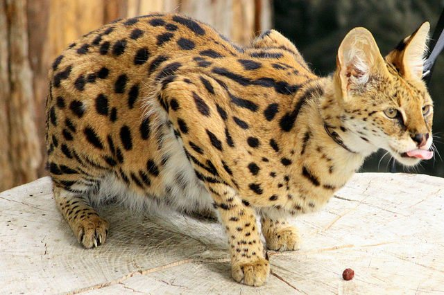 Африканский сервал или кустарниковая кошка