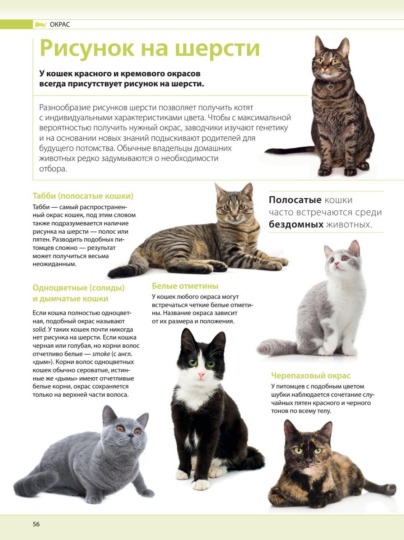 Окрасы шотландских кошек