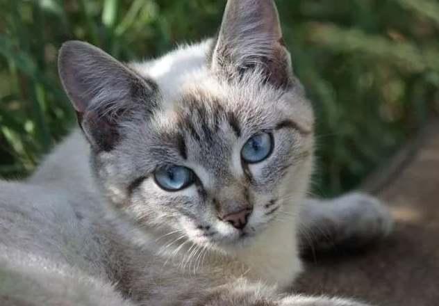 Соукок (кенийская лесная кошка)