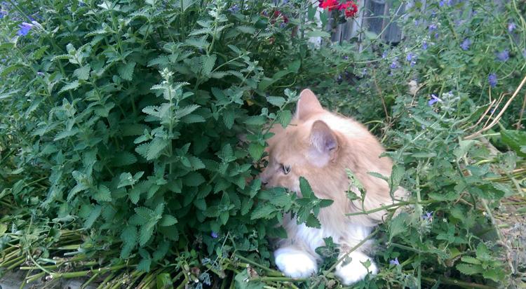 Кошачья мята: что это такое и как растение действует на кошек?