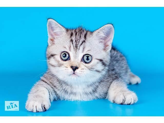 Шотландская вислоухая кошка. скоттиш-фолд
